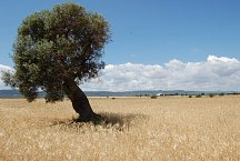 Lonely tree near Fasano